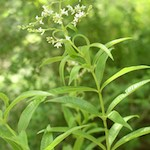 Λουίζα (Lippia citriodora)