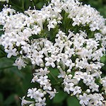 Βαλεριάνα (valeriana officinalis)
